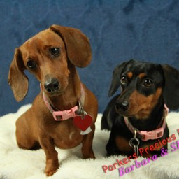 Dachshunds Puppies For Sale Parkers Precious Puppies