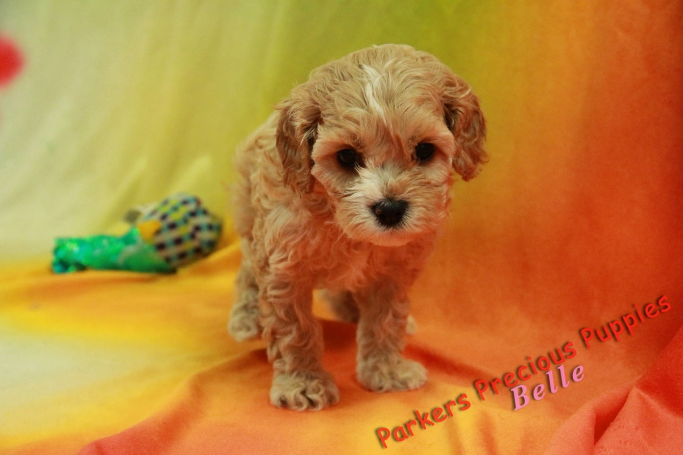 "Belle ""The Girl Cavapoo"