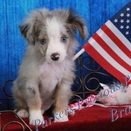 Miniature Australian Shepherd Puppies for Sale - | Parkers
