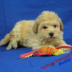 Bich Poo Puppies for Sale - | Parkers Precious Puppies