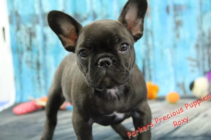 frank bulldog