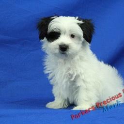 Puppies NC Pug,French Bulldog,Morkie,Lhasa,Designer breeds Parkers