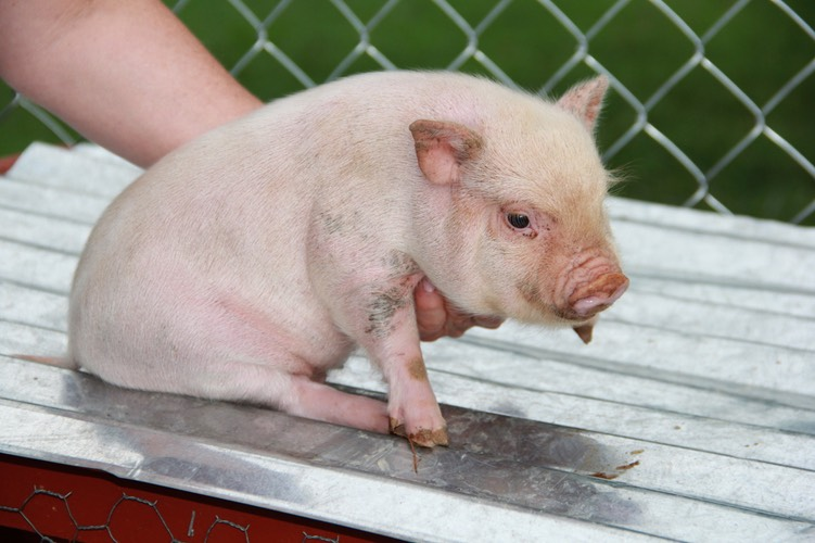 baby pigs parker s precious puppies the puppy you will buy