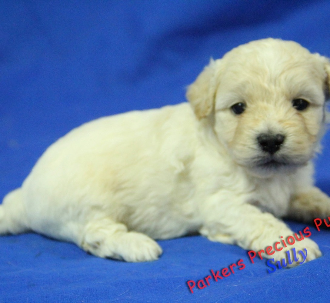 Small Breed Puppies for Sale | Parkers Precious Puppies