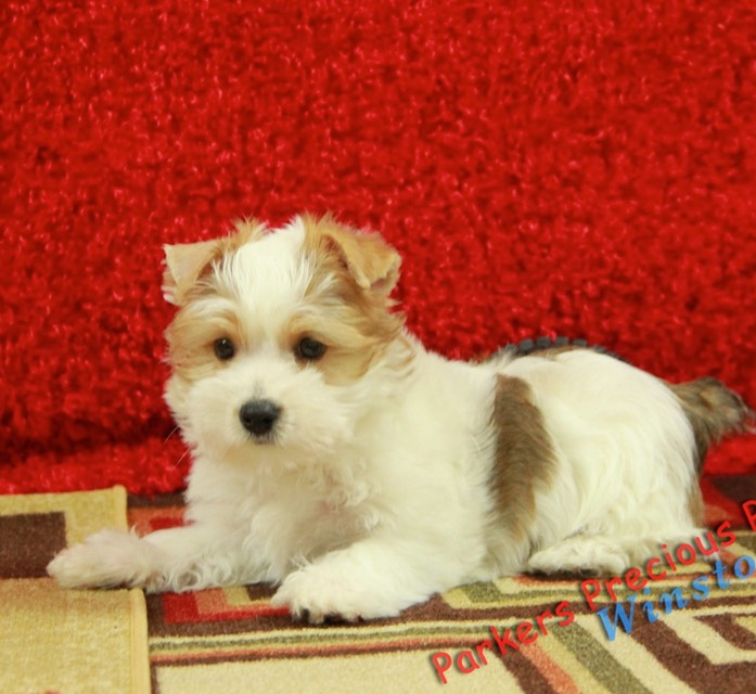 Small Breed Puppies For Sale Parkers Precious Puppies