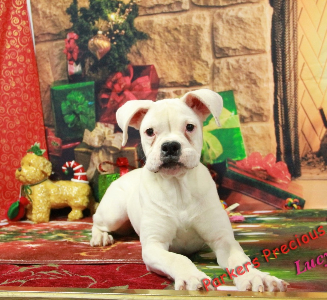 Beautiful, healthy Puppies for Sale   Parkers Precious Puppies