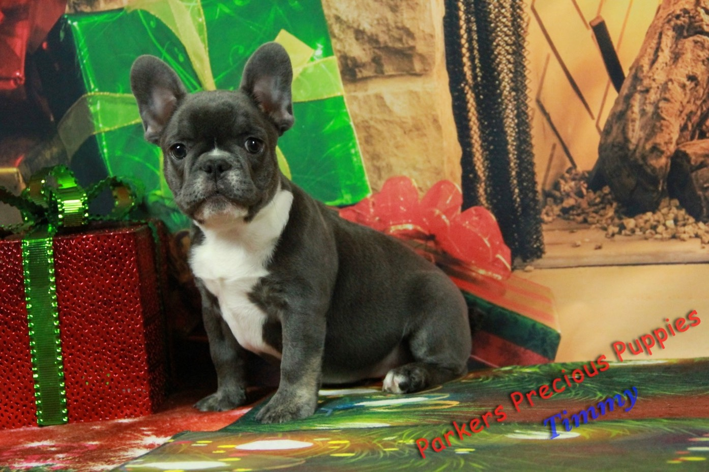 Beautiful Healthy Puppies For Sale Parkers Precious Puppies