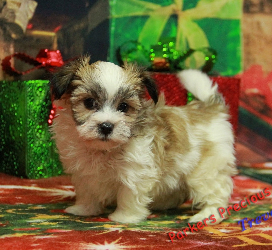 Beautiful, healthy Puppies for Sale | Parkers Precious Puppies
